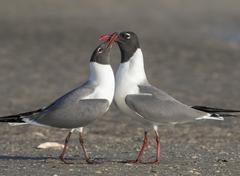 Laughing Gulls Leucophaeus atricilla courtship at the ocean shore Galveston Stock Photos