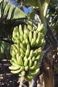 Canary banana Musa sp Banana tree plantation near San Andres La Palma Canary Stock Photos