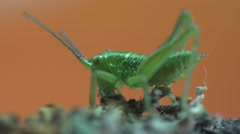 Grasshopper small insect sitting on branch on orang background, field, garden Stock Footage