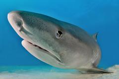 Tiger Shark Galeocerdo cuvier portrait Caribbean Bahamas North America Kuvituskuvat