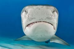 Tiger Shark Galeocerdo cuvier portrait frontal Caribbean Bahamas North America Kuvituskuvat