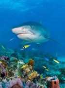 Tiger Shark Galeocerdo cuvier over coral reef Caribbean Bahamas North America Kuvituskuvat