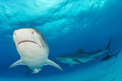 Tiger sharks Galeocerdo cuvier Caribbean Bahamas North America Kuvituskuvat