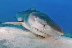 Tiger Shark Galeocerdo cuvier on the sea floor Caribbean Bahamas North America Kuvituskuvat