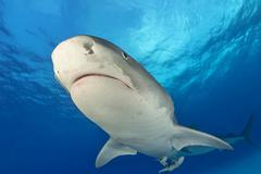 Tiger Shark Galeocerdo cuvier from below Caribbean Bahamas North America Kuvituskuvat