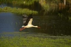 White stork Ciconia ciconia flying over a wetland Xanten Lower Rhine North - stock photo