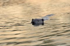 Swimming beaver Castor fiber in the morning light Rheinberg Lower Rhine North - stock photo
