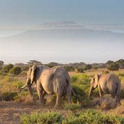 Elephants in front of Kilimanjaro, Amboseli, Kenya Kuvituskuvat