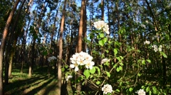 A blooming pear tree bunch of flowers. - stock footage
