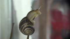 Big snail Helix pomatia sitting on dry branch Stock Footage