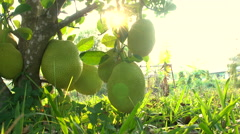 A group of jackfruit hang from their tree with sun flare . Stock Footage