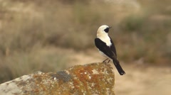 Black-eared Wheatear side view Stock Footage
