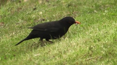 Blackbird searching for grubs Stock Footage