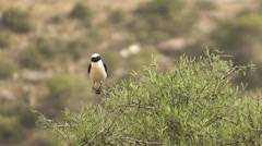 Black-eared Wheatear face on Stock Footage