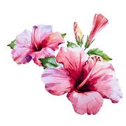Stock Illustration of Watercolor hibiscus flower