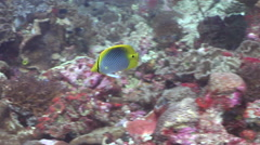 Spot-tail butterflyfish hunting, Chaetodon ocellicaudus, HD, UP19102 Stock Footage