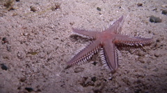 Comb sea star running at night, Astropecten sp., HD, UP19108 Stock Footage