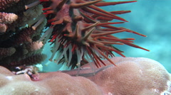 Crown of thorns starfish walking, Acanthaster planci, HD, UP19128 Stock Footage