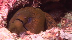 Giant moray breathing, Gymnothorax javanicus, HD, UP19145 Stock Footage