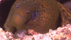 Giant moray breathing, Gymnothorax javanicus, HD, UP19148 Stock Footage