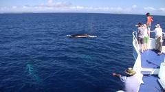 Humpback whale, Megaptera novaeangliae, HD, UP19183 Stock Footage
