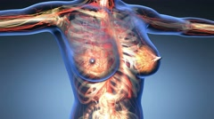 loop science anatomy of human body in x-ray with all colored organs in blue - stock footage