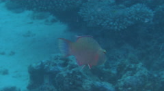 Cheeklined maori wrasse swimming at dusk, Oxycheilinus digramma, HD, UP19257 Stock Footage
