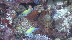 Female adult Blackspot angel swimming, Genicanthus melanospilos, HD, UP19313 - stock footage
