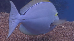 Adults and juveniles Bignose unicornfish cleaning and being cleaned, Naso - stock footage