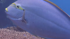 Moon wrasse cleaning and being cleaned, Thalassoma lunare, HD, UP19327 Stock Footage