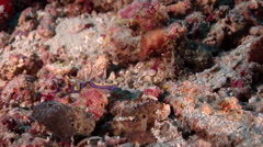 Purple spot skirt lifter slug walking on rubble, Chromodoris kuniei, HD, UP29501 Stock Footage