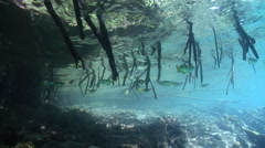 Banded archerfish hovering and schooling in mangroves, Toxotes jaculatrix, HD, Stock Footage