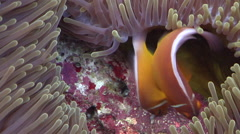 Pink anemonefish nesting, Amphiprion perideraion, HD, UP19336 Stock Footage
