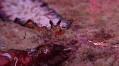 Elegant flatworm walking, Pseudobiceros bedfordi, HD, UP19342 Stock Footage
