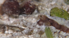 Unidentified long arm octopus hunting on seagrass meadow at night, Octopus sp., Stock Footage