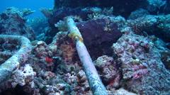 Orbicular damsel swimming, Amblyglyphidodon orbicularis, HD, UP19351 Stock Footage