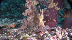 Ornate ghost pipefish hovering, Solenostomus paradoxus, HD, UP19359 Stock Footage