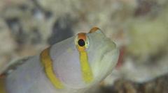 Randalls shrimpgoby, Amblyeleotris randalli, HD, UP19367 Stock Footage
