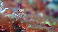 Bigmouth triplefin, Ucla xenogrammus, HD, UP19372 Stock Footage