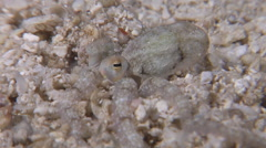 Unidentified long arm octopus burying on sand at night, Octopus sp., HD, UP29274 Stock Footage