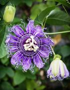 Macro photo of Passiflora incarnata in botanic garden, natural scene Stock Photos