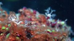 Bigmouth triplefin, Ucla xenogrammus, HD, UP19373 Stock Footage