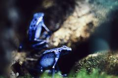 Close-up of blue poison arrow frogs on tree Stock Photos