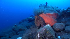 Common reef octopus changing colour on black sand slope and muck, Octopus Stock Footage