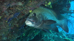 Many spotted sweetlips hovering, Plectorhinchus chaetodonoides, HD, UP19403 Stock Footage