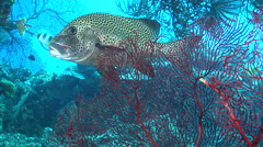Many spotted sweetlips swimming, Plectorhinchus chaetodonoides, HD, UP19404 Stock Footage