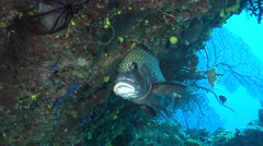 Many spotted sweetlips hovering, Plectorhinchus chaetodonoides, HD, UP19406 Stock Footage