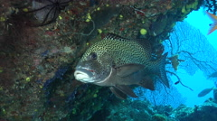 Many spotted sweetlips hovering, Plectorhinchus chaetodonoides, HD, UP19407 Stock Footage