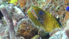 Goldbelly damsel swimming on black sand slope and muck, Pomacentrus auriventris, Stock Footage
