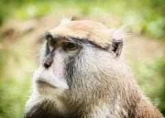 Patas monkey or Hussar monkey - Erythrocebus patas, animal portrait - stock photo
